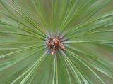 Close Up of Fresh Pine Needle Branch