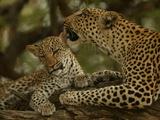 Mother Leopard, Panthera Pardus, Grooming Her Cub, Mombo, Okavango Delta, Botswana