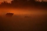 LionStalking an African Buffalo, Duba, Okavango Delta, Botswana