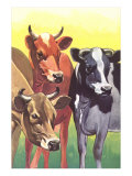 Alert Cows