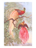 Chinese Golden Pheasants