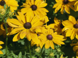 Close-Up of the Yellow Flowers of Rudbeckia Fulgens, Taken in August, in Devon, England, Europe