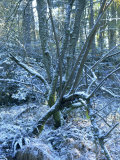 Snow on Boughs of Trees in Woods in February in Devon, England, United Kingdom, Europe