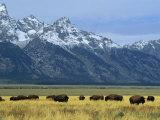 Bison and the Teton Range, Grand Teton National Park, Wyoming, USA