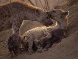 Spotted Hyenas, Kruger National Park, South Africa, Africa