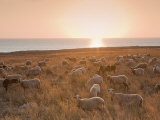 Flock of Sheep at Sunset by the Sea, Near Erice, Western Sicily, Italy, Europe