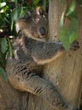 Koala Bear in a Gum Tree, Parndana Wildlife Park, Kangaroo Island, South Australia, Australia