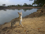 A remote camera captures an elusive serval cat