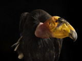 A captive endangered California condor at the Phoenix Zoo.
