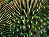 Coral of the Genus Fungia