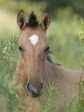 Wild Horse Mustang, Dun Filly Lying Down, Pryor Mountains, Montana, USA
