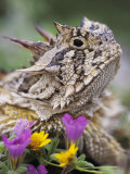 Texas Horned Lizard Adult Head Portrait, Texas, Usa, April