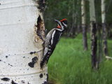 Red-Naped Sapsucker Female at Nest Hole in Aspen Tree, Rocky Mountain National Park, Colorado, USA