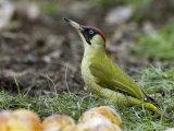 Green Woodpecker Male Alert Posture Among Apples on Ground, Hertfordshire, UK, January