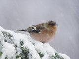 Common Chaffinch Adult on Spruce Branch in Snow, Switzerland, December