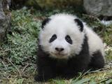 Giant Panda Baby Aged 5 Months, Wolong Nature Reserve, China