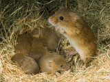 Harvest Mouse Mother Standing over 1-Week Babies in Nest, UK