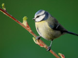 Blue Tit on Branch, Cornwall, UK