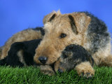 Domestic Dog, Welsh Terrier with Puppy, 7 Weeks