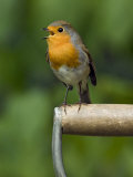 Robin Sitting on a Garden Fork Handle Singing, Hertfordshire, England, UK