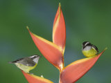 Bananaquit Two Adults on Heliconia Plant, Costa Rica