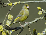 Male Greenfinch Amongst Pussy Willow Catkins, Hertfordshire, England, UK