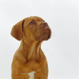 Dogue De Bordeaux Dog Puppy, 15 Weeks Old, Sitting and Looking Up
