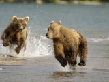 Brown Bears Chasing Each Other Beside Water, Kronotsky Nature Reserve, Kamchatka, Far East Russia