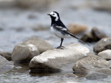 Pied Wagtail Male Perched on Rock in Stream, Upper Teesdale, Co Durham, England, UK