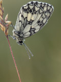 Marbled White Butterfly Covered in Dew at Dawn, Hertfordshire, England, UK
