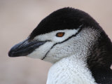 Chinstrap Penguin Head Portrait, Antarctica