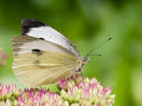 Large Cabbage White Butterfly on Sedum Flowers, UK