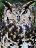 Head Portrait of Spotted Eagle-Owl Captive, France