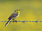 Yellow Wagtail Male Singing from Barbed Wire Fence, Upper Teesdale, Co Durham, England, UK
