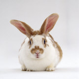 Fawn English-Spotted Rabbit, Female