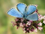 Adonis Blue Male Feeding on Marjoram, Oxfordshire, England, UK