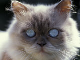 Persian Cream Cat, Close Up of Face and Blue Eyes