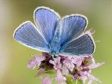 Common Blue Male Feeding on Flower of Marjoram