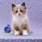 Persian Cross Kitten, Sitting