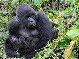 Female Mountain Gorilla with Her Baby, Volcanoes National Park, Rwanda, Africa