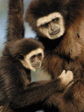 White Handed Gibbon Mother and Young, Endangered, from Se Asia