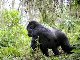Male Silverback Mountain Gorilla Knuckle Walking, Volcanoes National Park, Rwanda, Africa