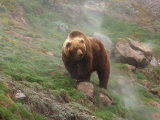 Brown Bear on Grassy Slope, Valley of the Geysers, Kronotsky Zapovednik, Kamchatka, Far East Russia
