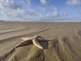 Common Starfish Washed Up on Beach, Norfolk, UK, November 2008