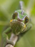 Panther Chameleon Walking Along Branch, Madagascar