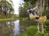 Diademed Sifaka Looking Down from Tree, Madagascar