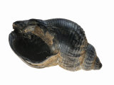 Common Whelk from the North Sea, Shell Showing Aperture, Belgium