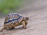 Leopard Tortoise Walking across Sand, Tanzania