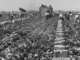 Migrant Farm Workers Picking Lettuce