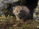 Canada Lynx Kitten at its Den, Lynx Canadensis, North America